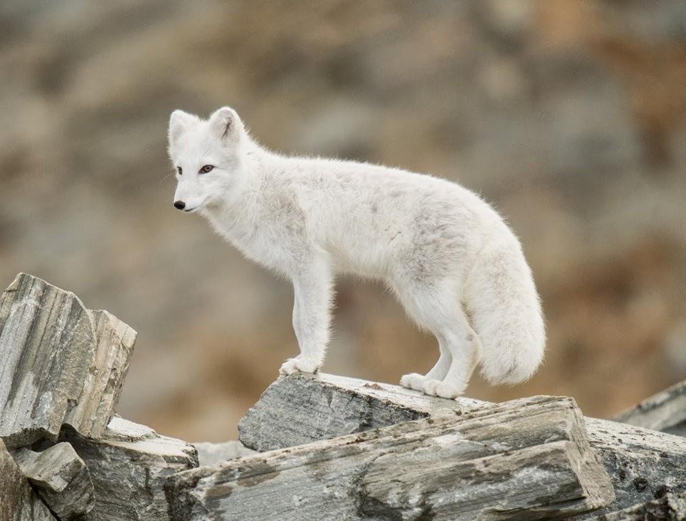 哥俩好 2-----白狐与黑狐_图1-7