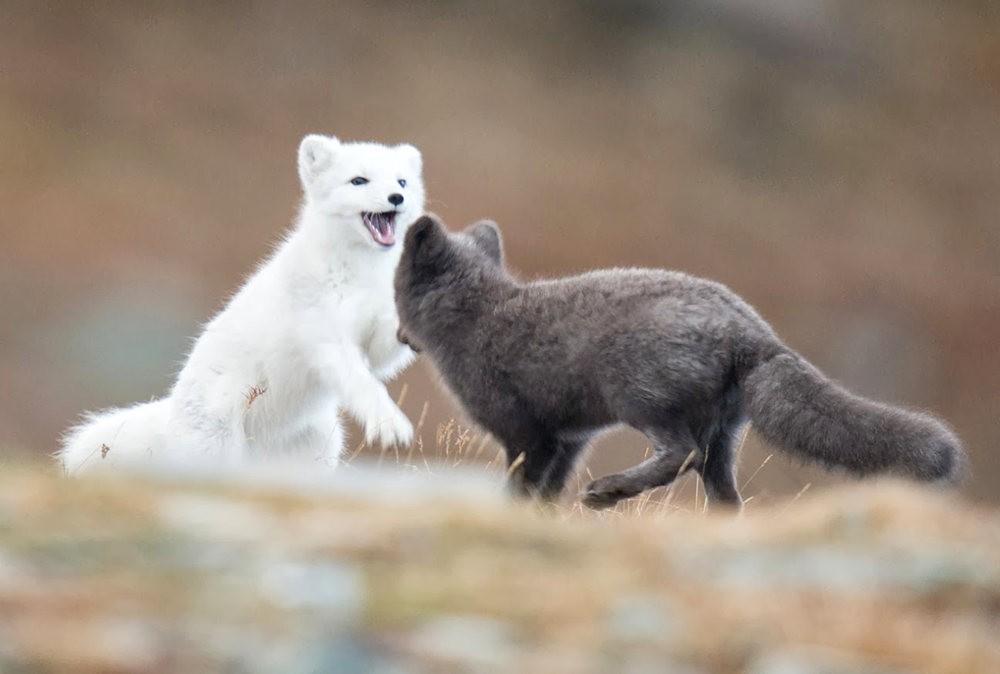 哥俩好 2-----白狐与黑狐_图1-8