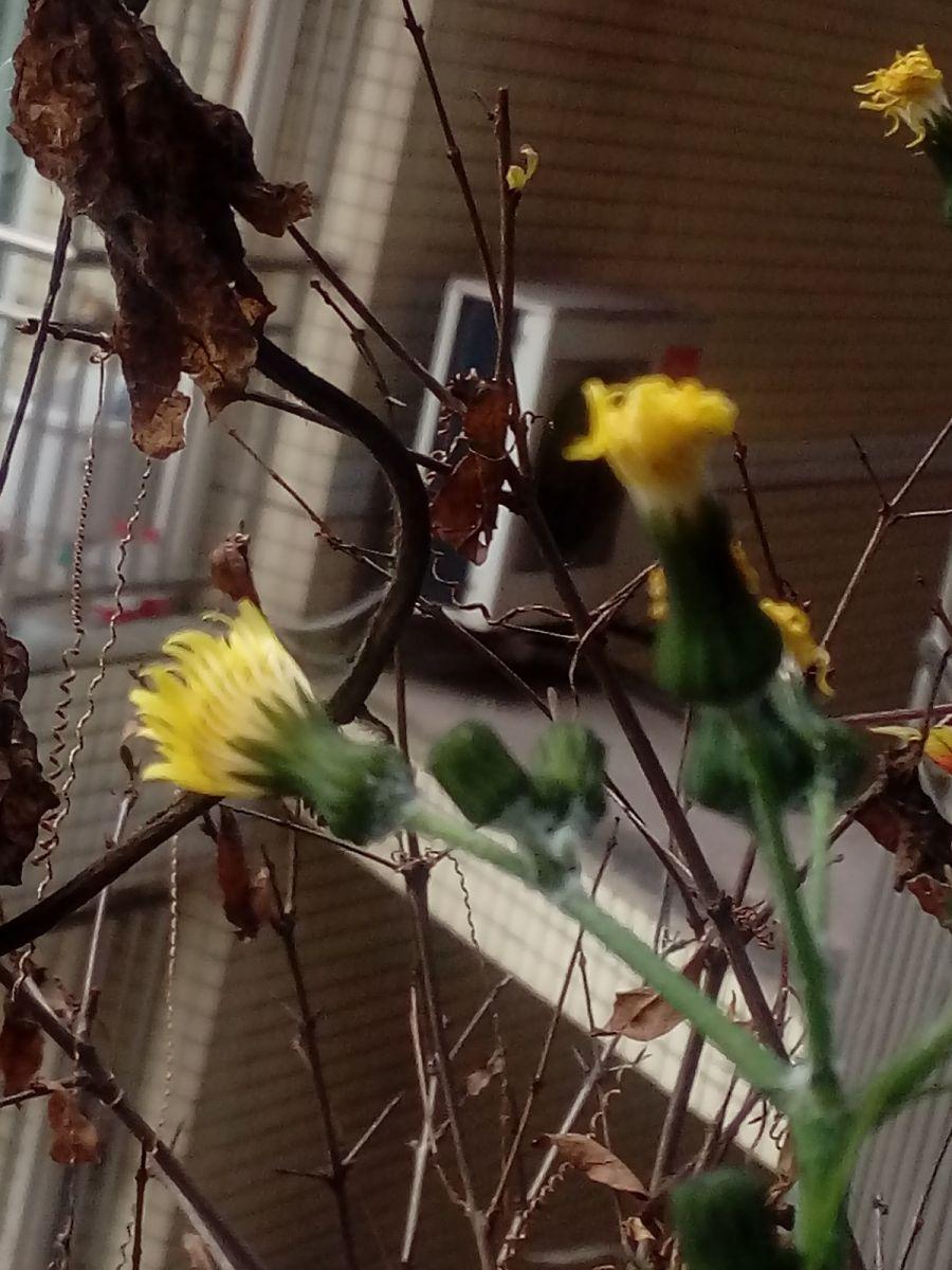 不速之客,一株陪伴我家三个季节的蒲公英花儿美丽_图1-1