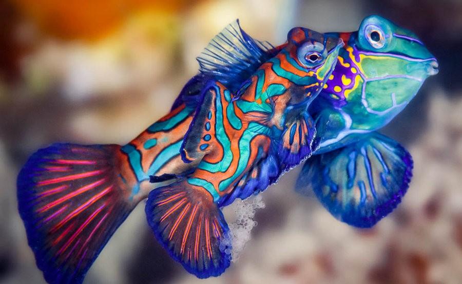 帕劳岛国之花斑连鳍_图1-4