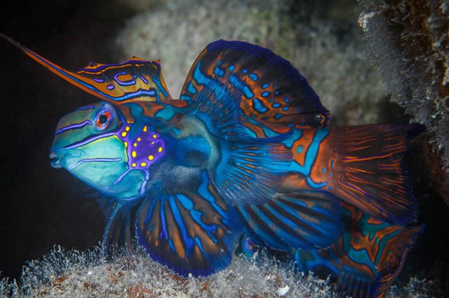 帕劳岛国之花斑连鳍_图1-5