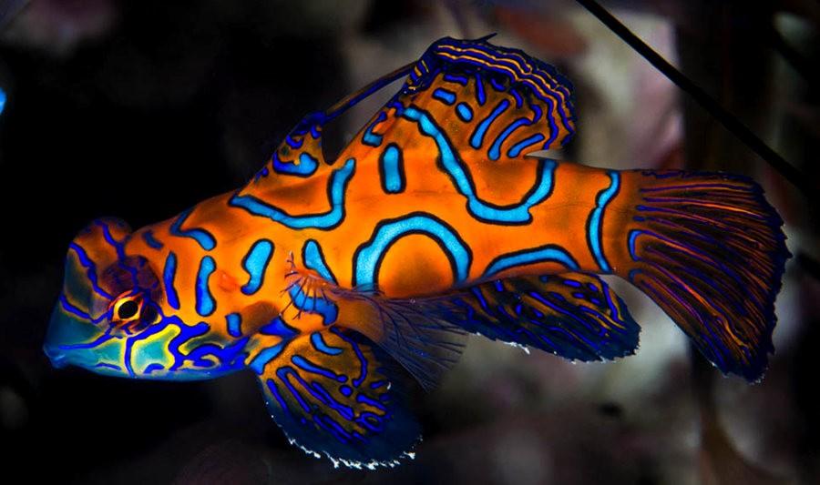 帕劳岛国之花斑连鳍_图1-7