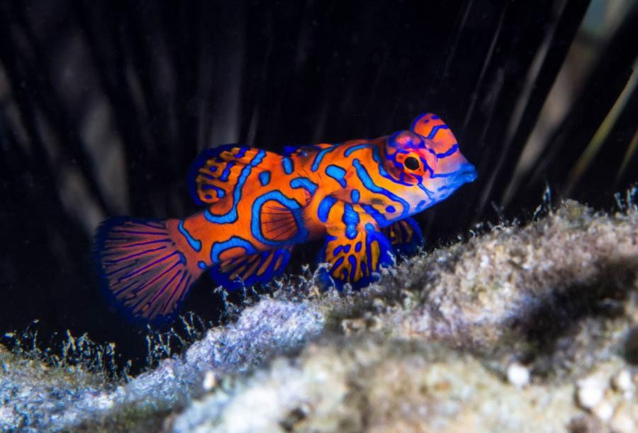 帕劳岛国之花斑连鳍_图1-8