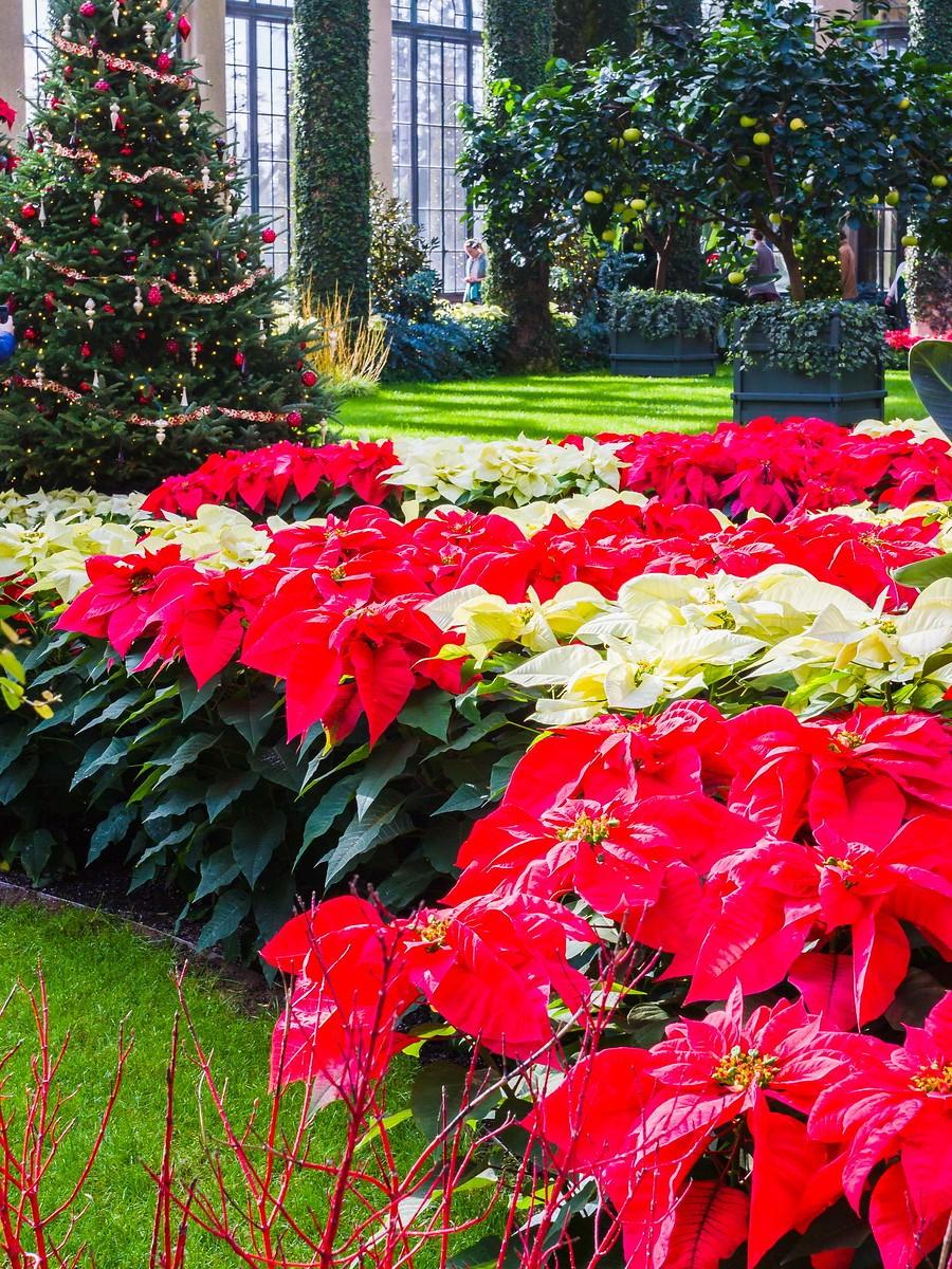 宾州长木公园,圣诞红_图1-36