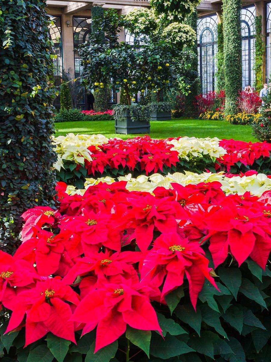 宾州长木公园,圣诞红_图1-32