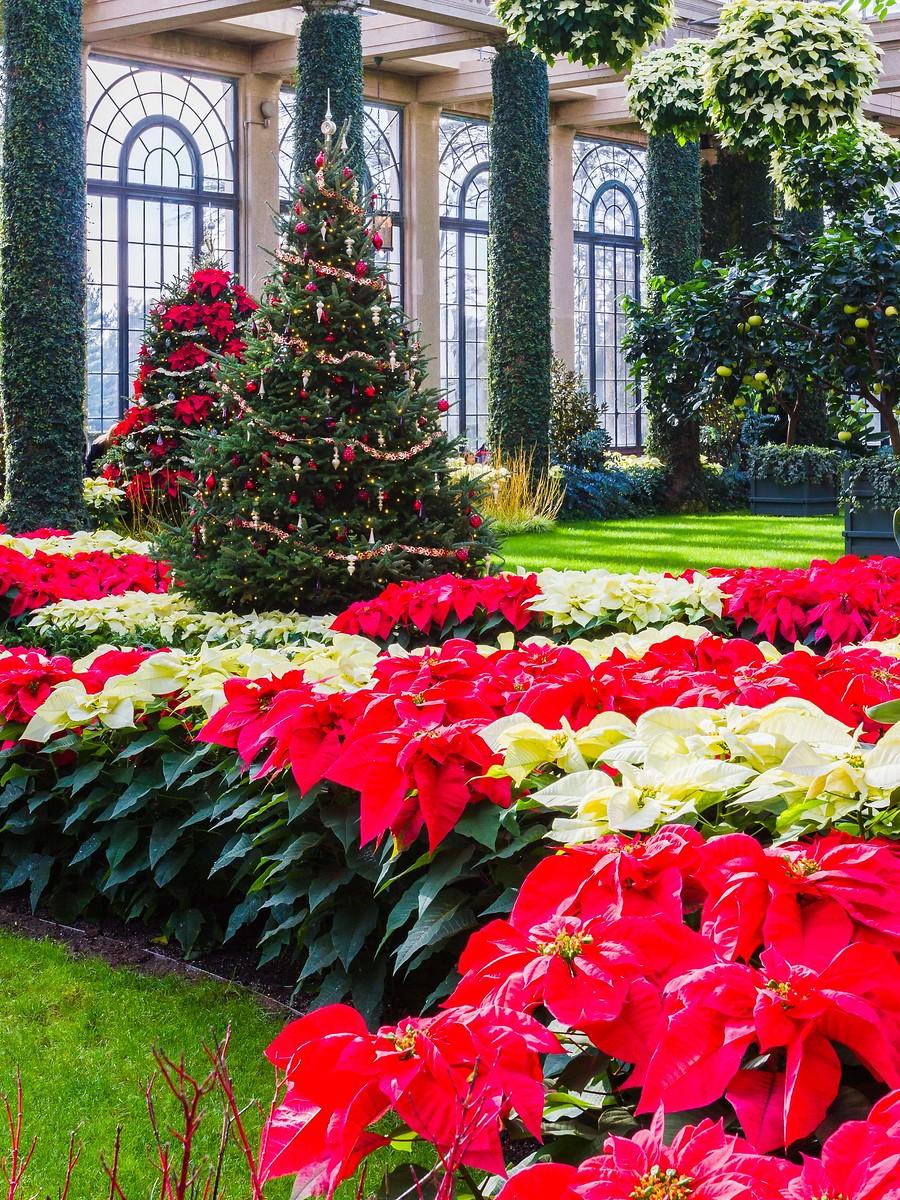 宾州长木公园,圣诞红_图1-1
