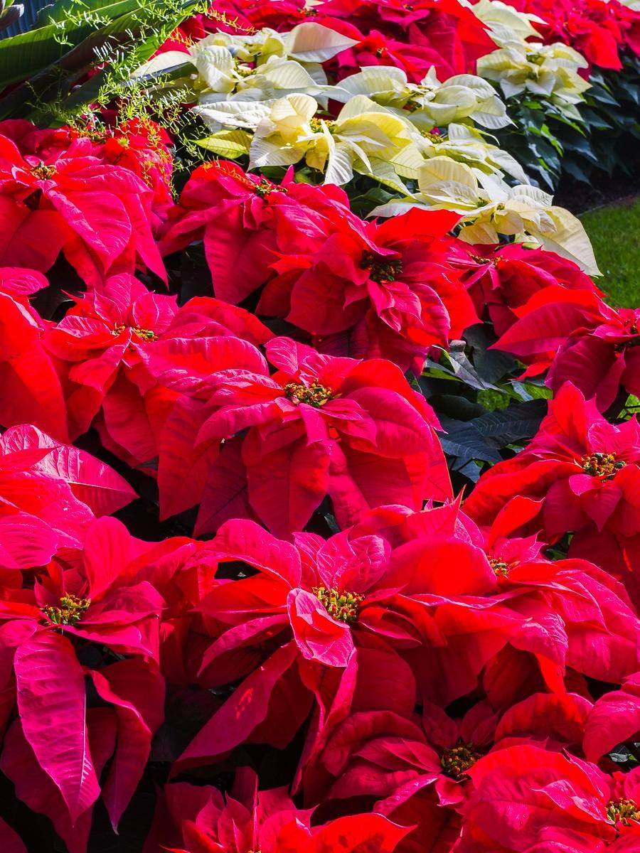 宾州长木公园,圣诞红_图1-2