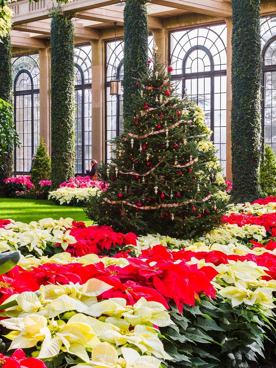 宾州长木公园,圣诞红_图1-8