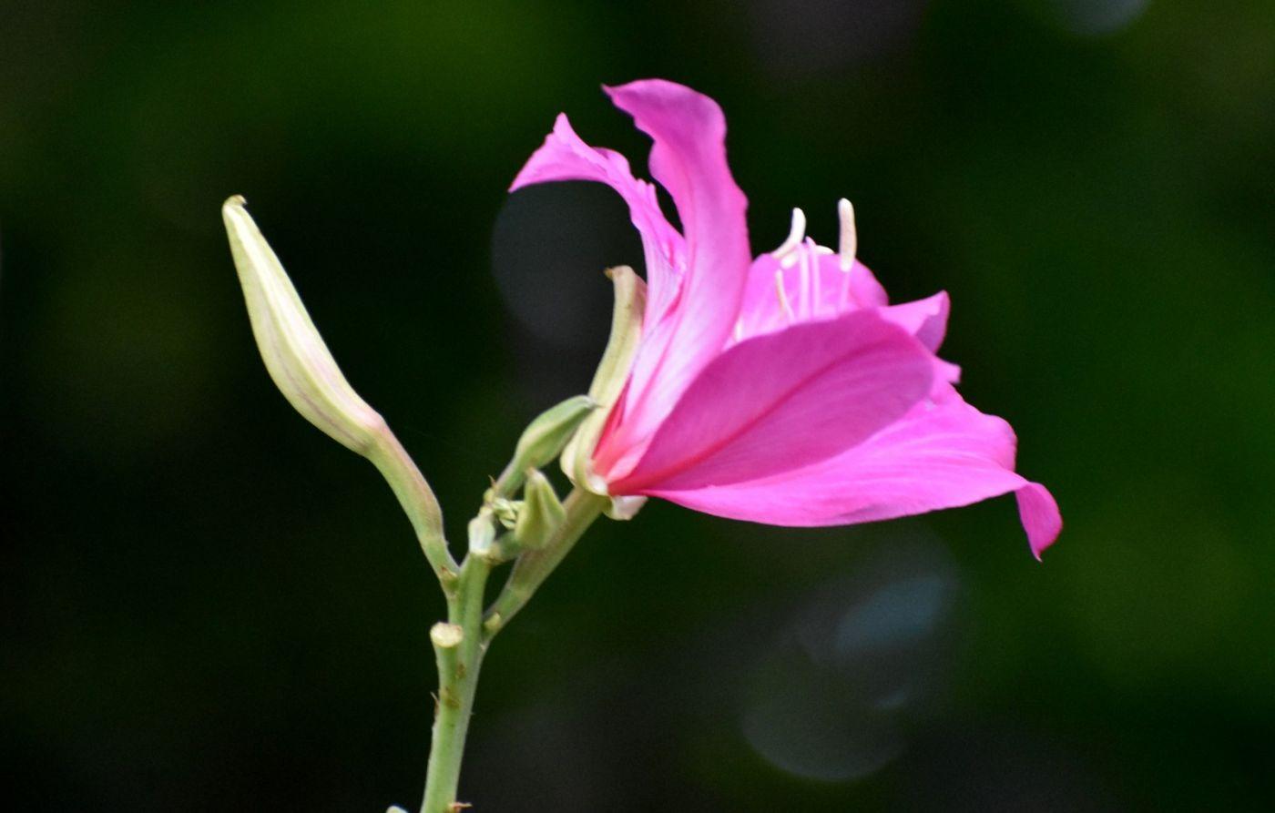 红花羊蹄甲_图1-2
