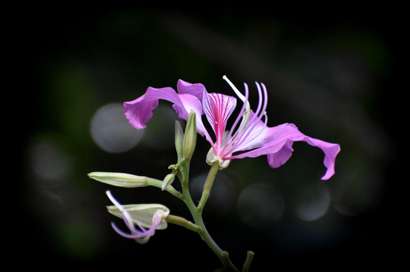 红花羊蹄甲_图1-5