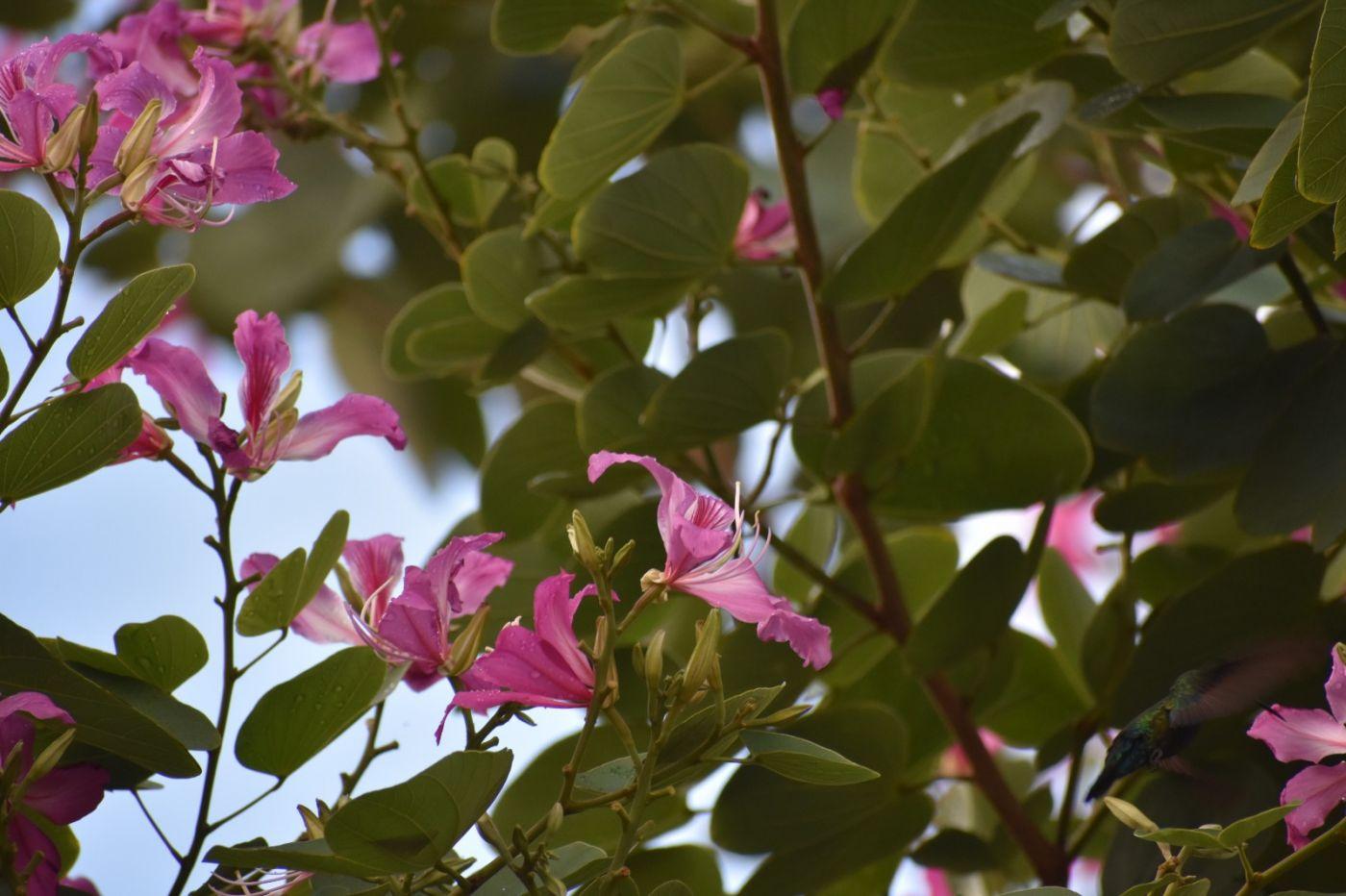 红花羊蹄甲_图1-21