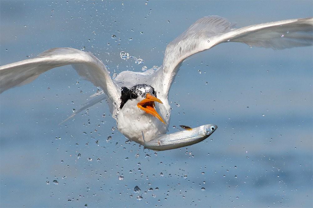 苍鹭.鱼鹰与燕鸥_图1-6