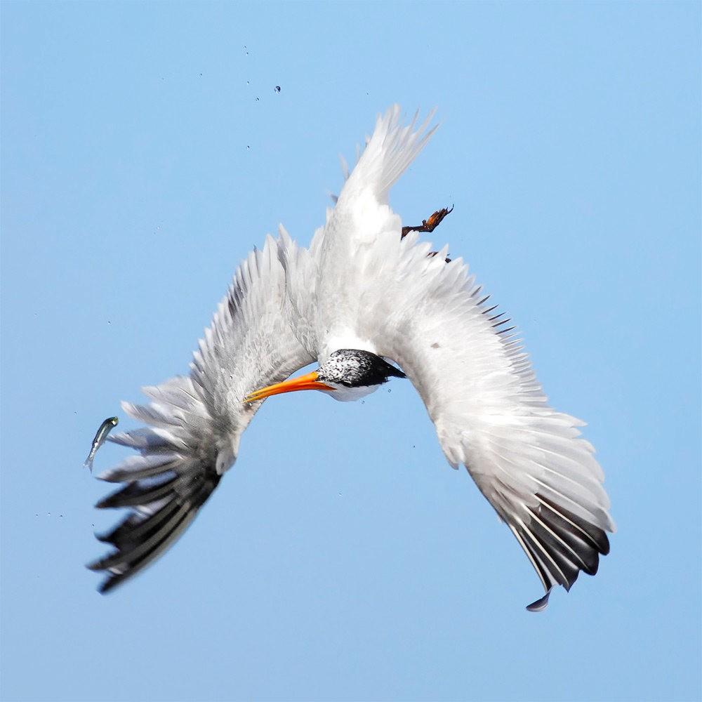 苍鹭.鱼鹰与燕鸥_图1-10