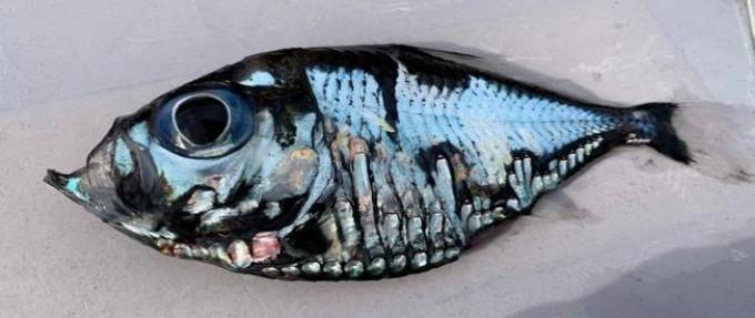 日本渔民捕获一条罕见深海鱼:可怕又美丽 越看越入迷_图1-1