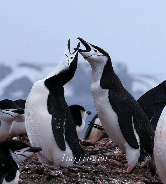 【小虫摄影】南极摄影_图1-6