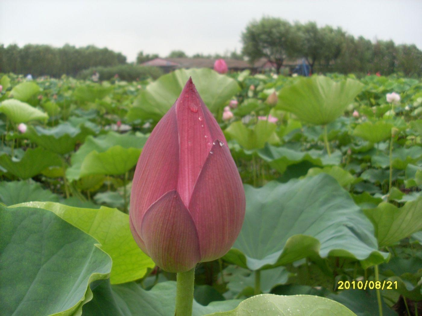 雨中畅游白洋淀_图1-13