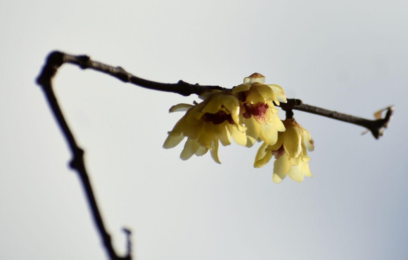 蜡梅_图1-4