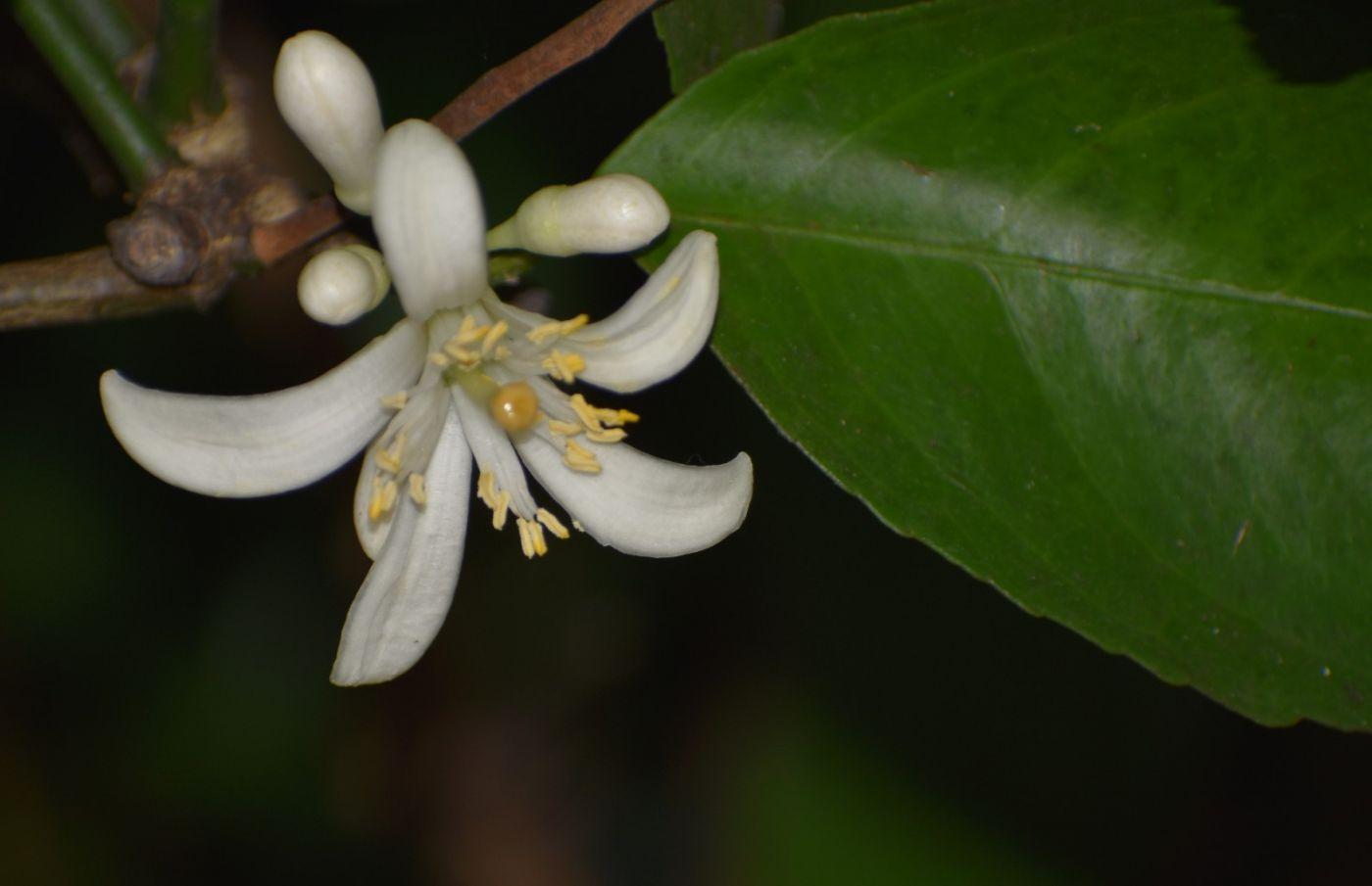 柠檬花_图1-6