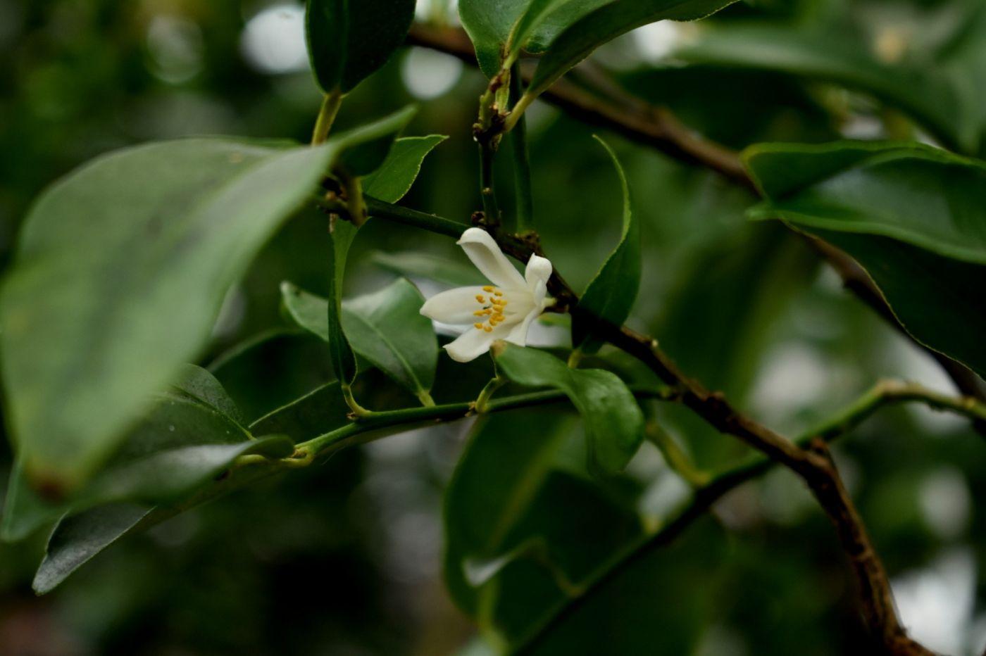 柠檬花_图1-15