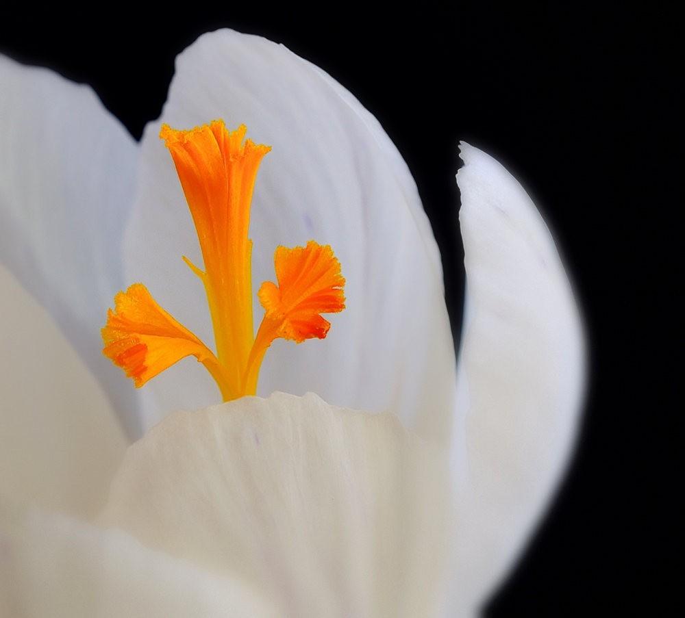 春之觉醒----番红花_图1-1