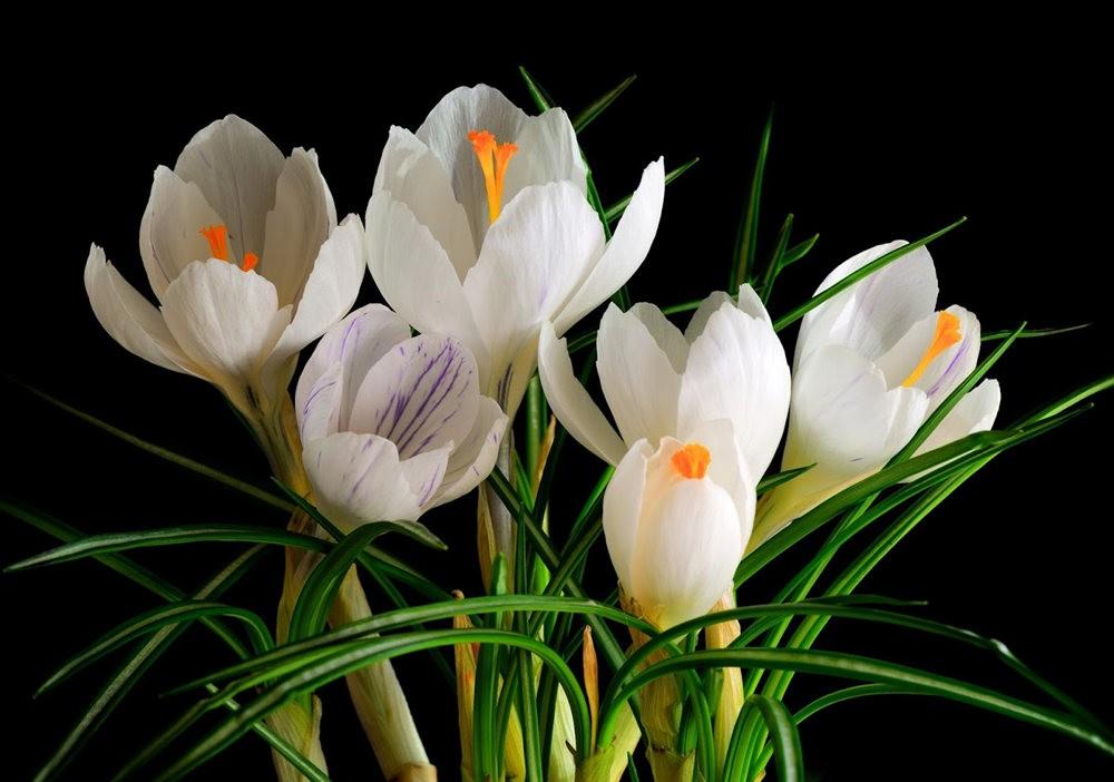 春之觉醒----番红花_图1-2