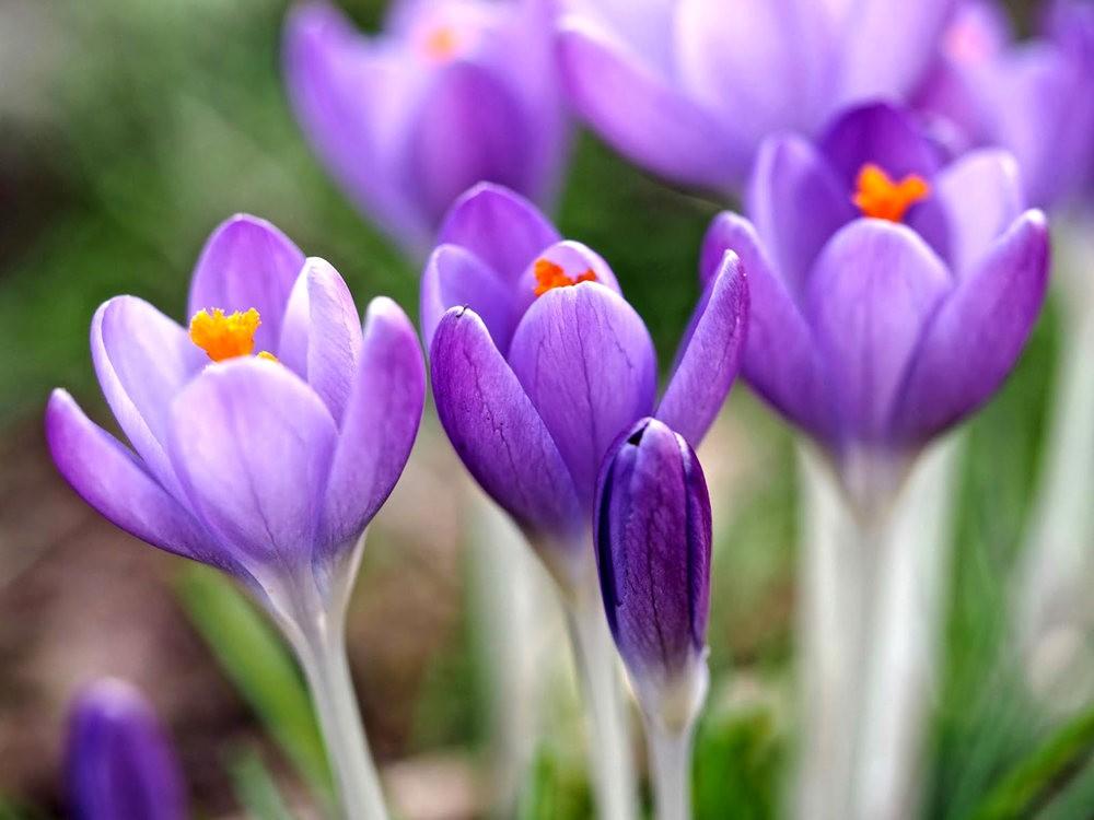 春之觉醒----番红花_图1-4