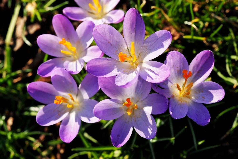 春之觉醒----番红花_图1-5