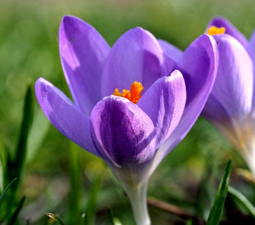 春之觉醒----番红花_图1-6