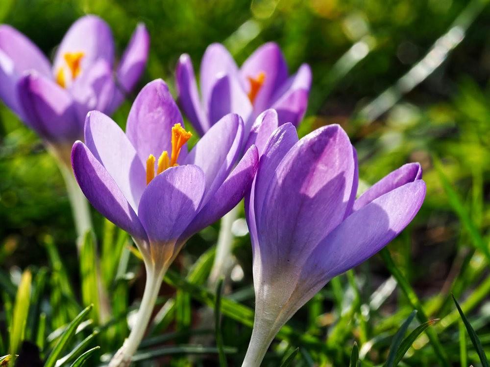 春之觉醒----番红花_图1-7