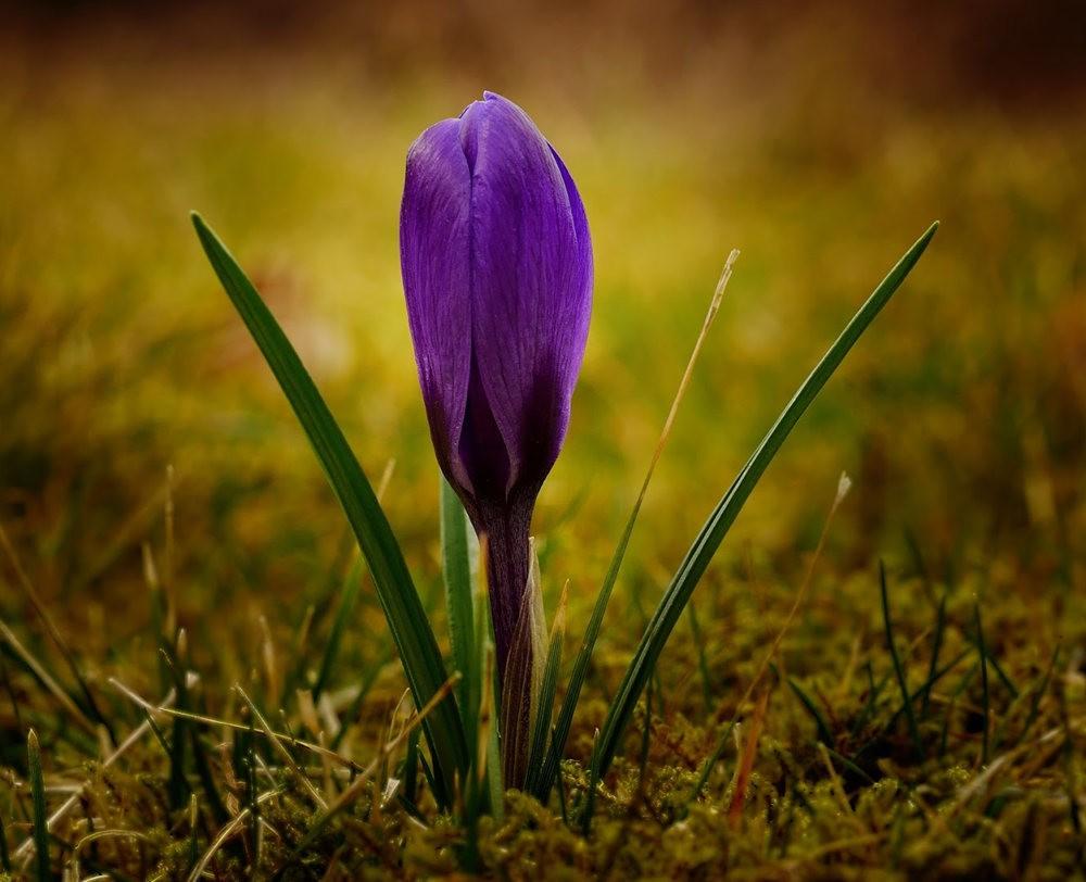 春之觉醒----番红花_图1-8