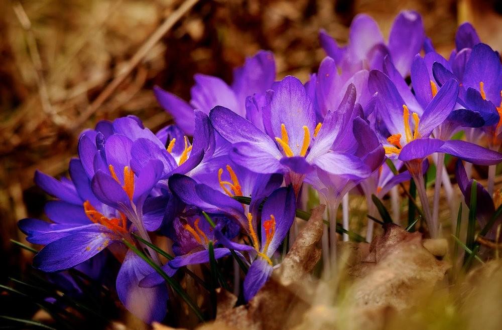 春之觉醒----番红花_图1-9