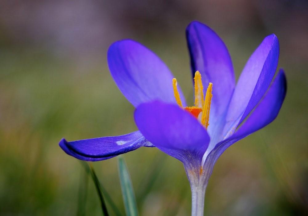 春之觉醒----番红花_图1-10
