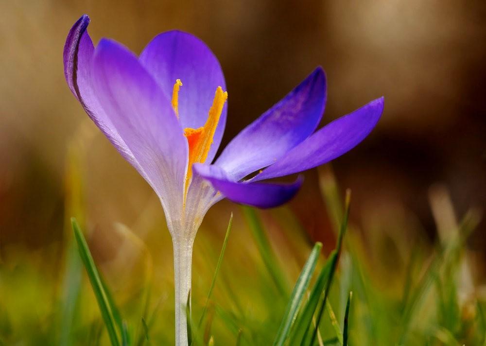 春之觉醒----番红花_图1-11