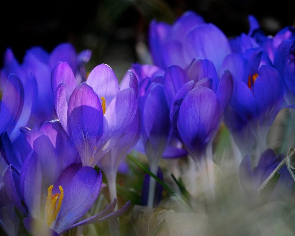 春之觉醒----番红花_图1-12