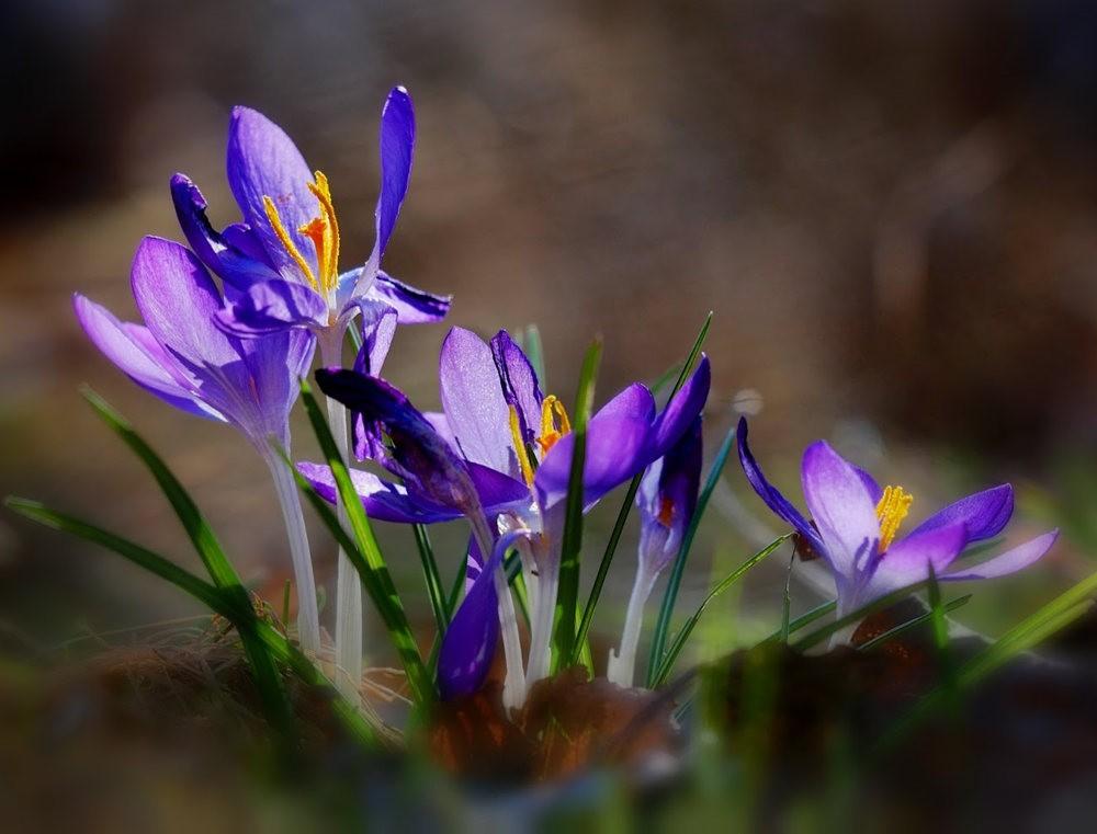 春之觉醒----番红花_图1-13