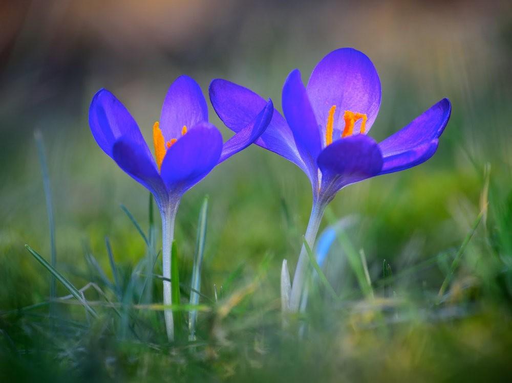 春之觉醒----番红花_图1-14