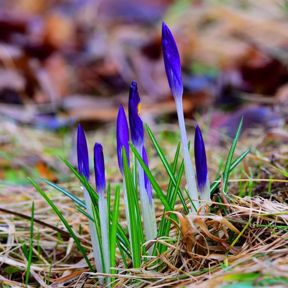 春之觉醒----番红花_图1-16