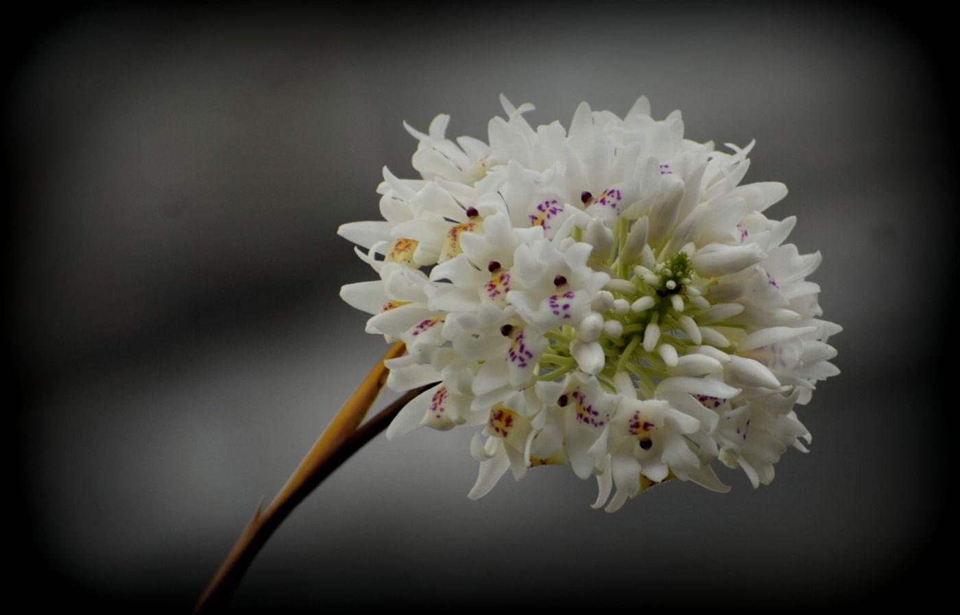 香球兰、牙刷石斛和凤梨兰_图1-2
