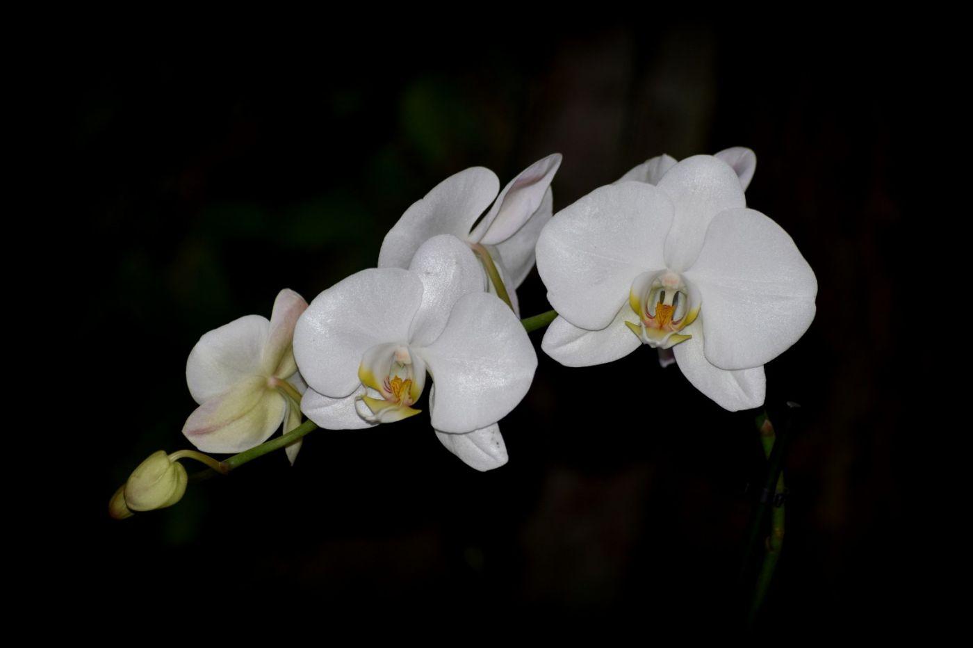 纽约植物园兰花展_图1-19