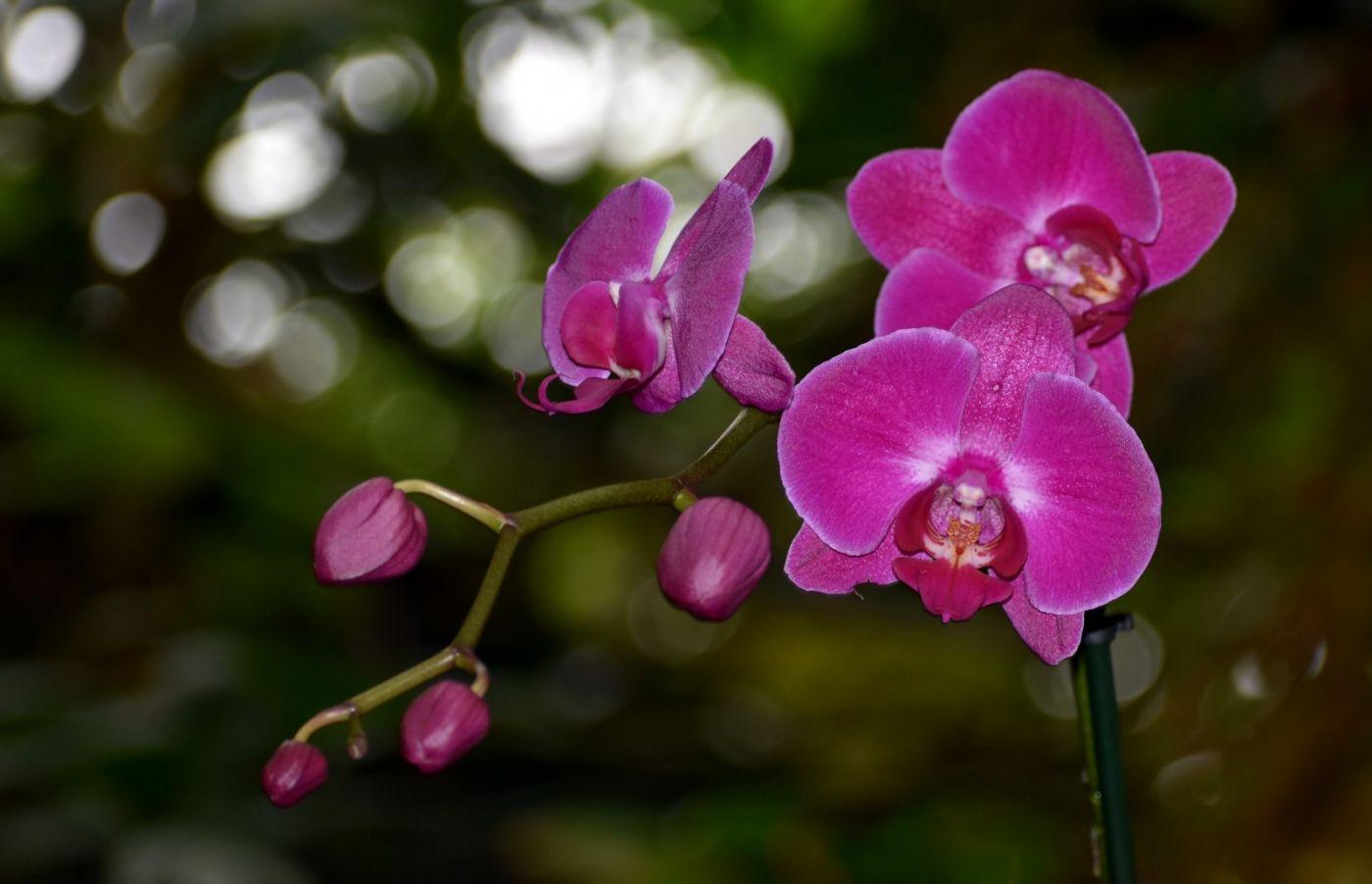 纽约植物园兰花展_图1-21