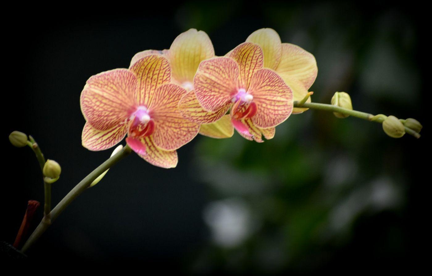 纽约植物园兰花展_图1-23