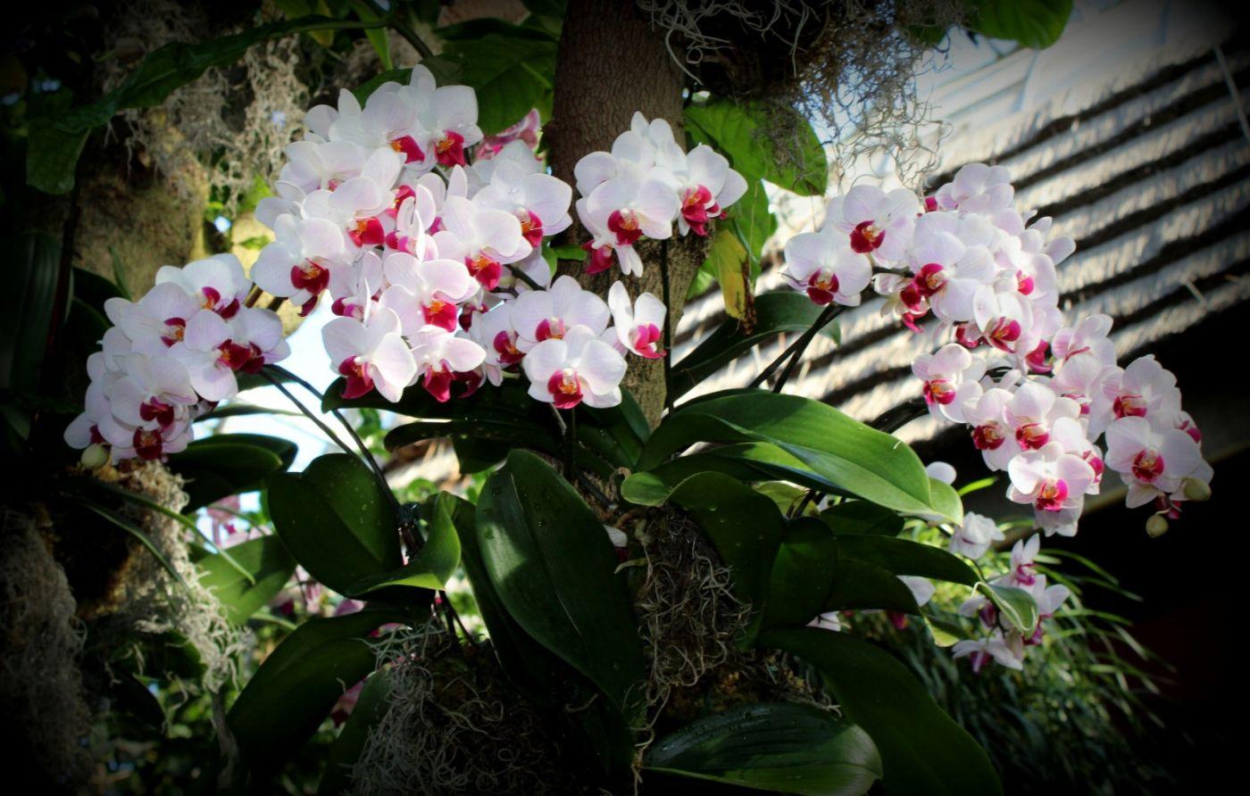 纽约植物园兰花展_图1-28