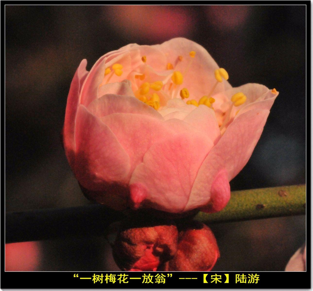咏梅(七律三首)_图1-1
