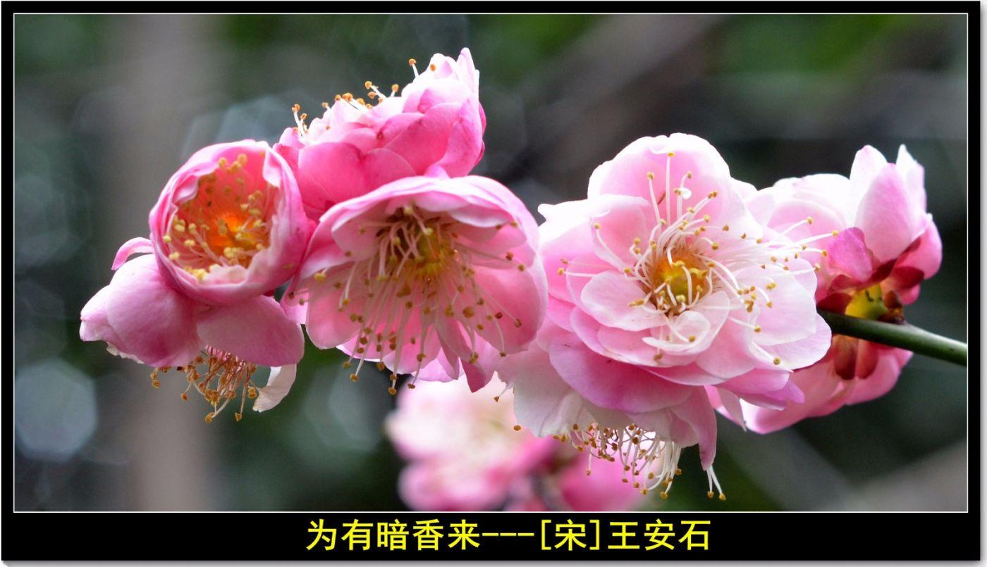 咏梅(七律三首)_图1-5