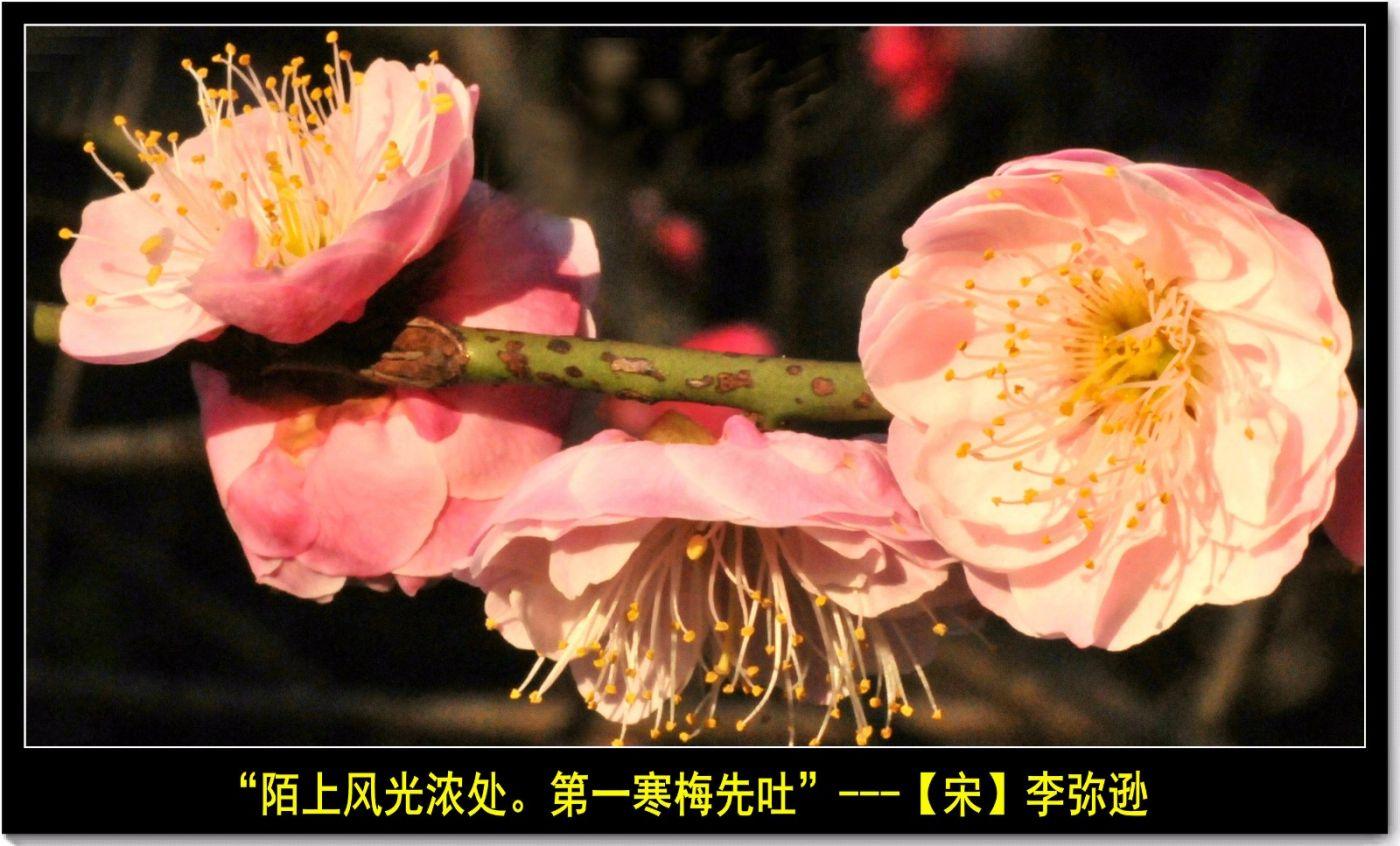 咏梅(七律三首)_图1-9
