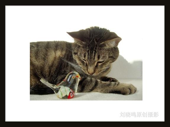 【晓鸣摄影】安逸的小猫猫_图1-1