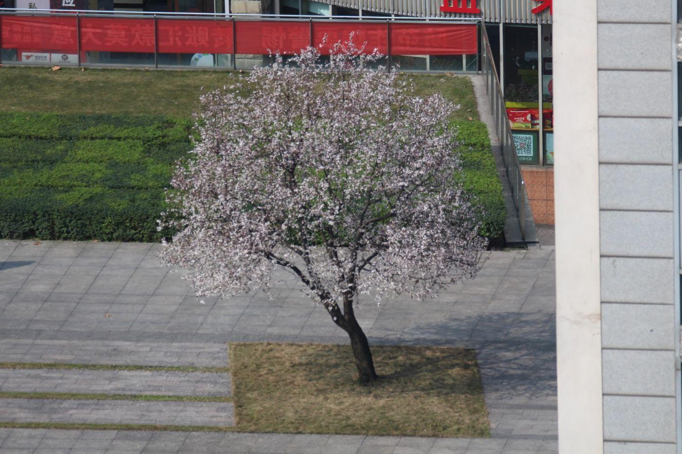 北窗外,那棵树开花了_图1-3