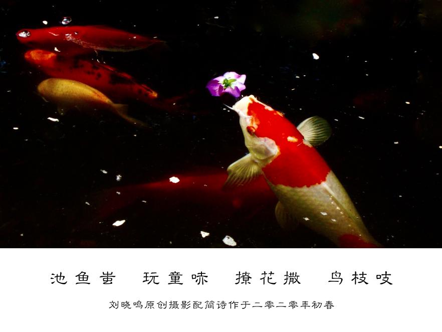 【晓鸣摄影】趣鲤痴花+简诗_图1-1