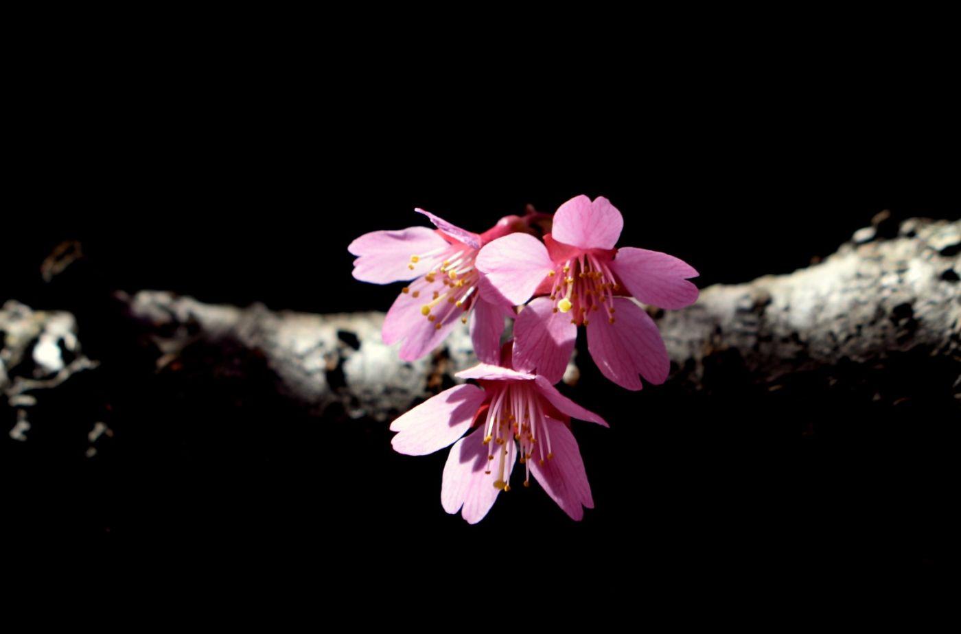 法拉盛可乐娜公园樱花盛开_图1-13