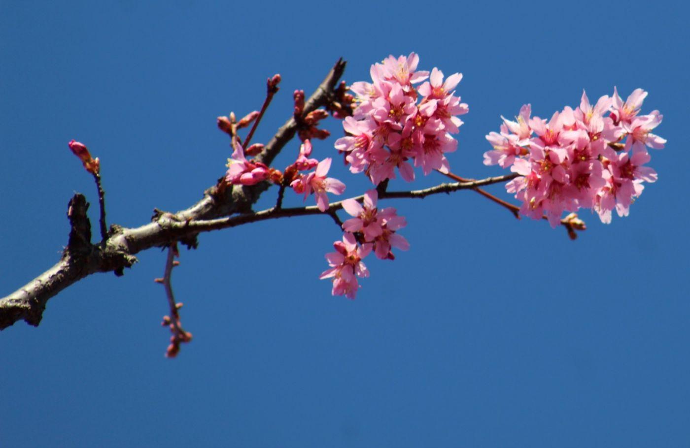 法拉盛可乐娜公园樱花盛开_图1-17